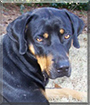 Max the Black and Tan Coonhound