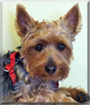 Shadow the Australian Silky Terrier/Yorkshire Terrier mix