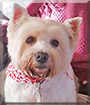 Willow the West Highland White Terrier