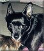 Shadow the Schipperke, Chihuahua mix
