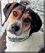 Atticus the Treeing Walker Coonhound