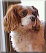 Duke the Cavalier King Charles Spaniel