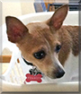 Peanut the Toy Fox Terrier