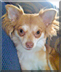 Roxie the Long-Haired Chihuahua