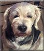 Giggles the Labrador, Beagle mix