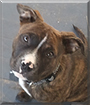 Broly the Pitbull Terrier