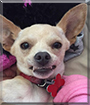 Arty the Chihuahua mix