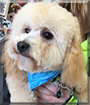 Hamilton the Bichon Frise, Miniature Poodle mix