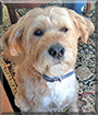 Mr. Bingley the Wheaten Terrier mix