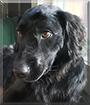 Monty the Otterhound, Labrador Retriever mix