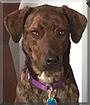 Layla the Plott Hound, Labrador Retriever mix