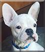 Movato the French Bulldog