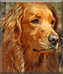 Vern the Golden Retriever