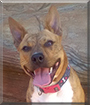 Asha the Staffordshire Terrier, Kelpie cross