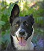 Piper the Border Collie, Belgian Malinois mix