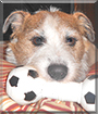 Rocky the Jack Russell Terrier