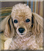 Rover the Toy Poodle