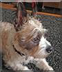 Bandit the Schnauzer, Boston Terrier mix