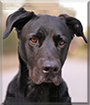 Shadow the American Staffordshire Terrier, Labrador Retriever mix