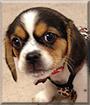 Belle the Pekinese, Beagle mix