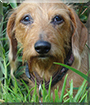 Sofie the Wire-haired Dachshund mix