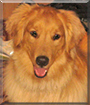 Rob Roy the Golden Retriever
