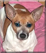 Lacy the Rat Terrier