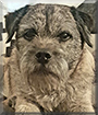 Charlie the Border Terrier