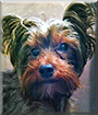 Vinnie the Yorkshire Terrier