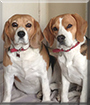 Tyler and Roxy the Beagles