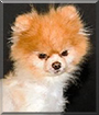 Truly the Pomeranian