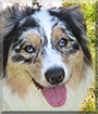 Gracie the Australian Shepherd