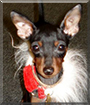 Spike the Miniature Pinscher