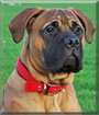 Richie the Bullmastiff
