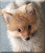 Nemo the Pomeranian