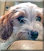 Lilly the Cavalier King Charles Spaniel, Poodle mix