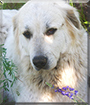 Tali the Great Pyrenees