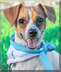 Riley the Chihuahua, Jack Russell Terrier mix