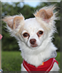 Bambie the Chihuahua, Yorkshire Terrier mix