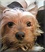 Jimbo the Yorkshire Terrier