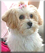Bella the Lhasa Apso/Poodle mix