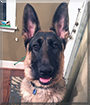 Cash the German Shepherd Dog