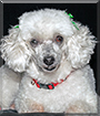 Sugar Plum the Toy Poodle