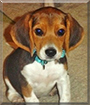 Marty the Beagle/Dachshund mix
