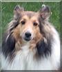 Daisy the Shetland Sheepdog