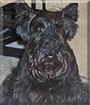 Mindy the Scottish Terrier