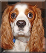 Buddy the Cavalier King Charles Spaniel