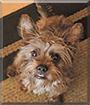 Billy the Yorkshire Terrier, Miniature Schnauzer mix