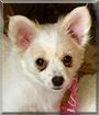 Rocky the Pomeranian, Chihuahua mix