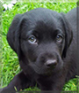 Alfie the Labrador Retriever
